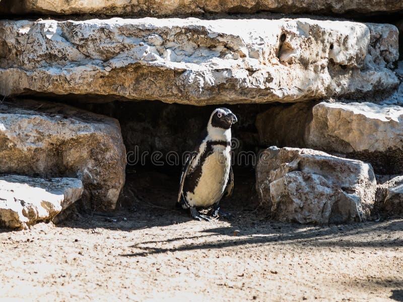 Één Afrikaanse pinguïntribunes en rust op een zonnige dag royalty-vrije stock afbeeldingen