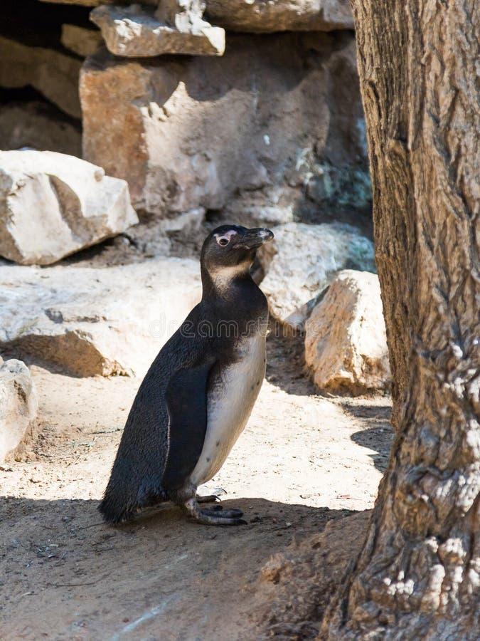 Één Afrikaanse pinguïntribunes en rust op een zonnige dag royalty-vrije stock afbeelding