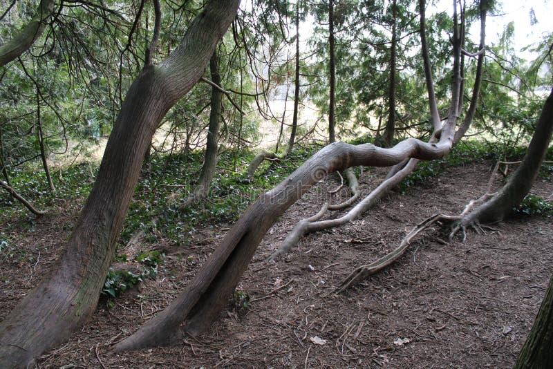 Één of andere stam van pijnboom-bomen stock foto's
