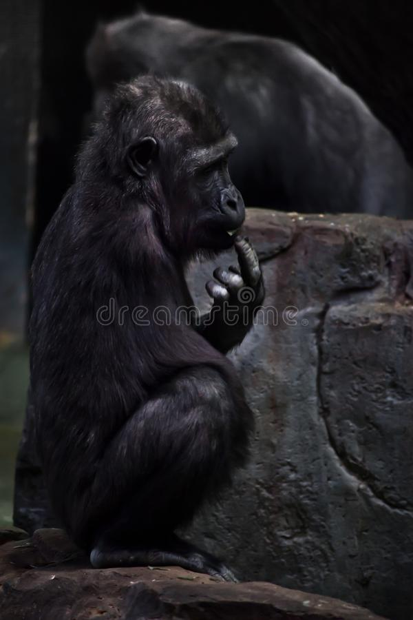 Één-bewapende gorilla gehandicapt op de achtergrond van stenen met een vinger in zijn mond stock foto