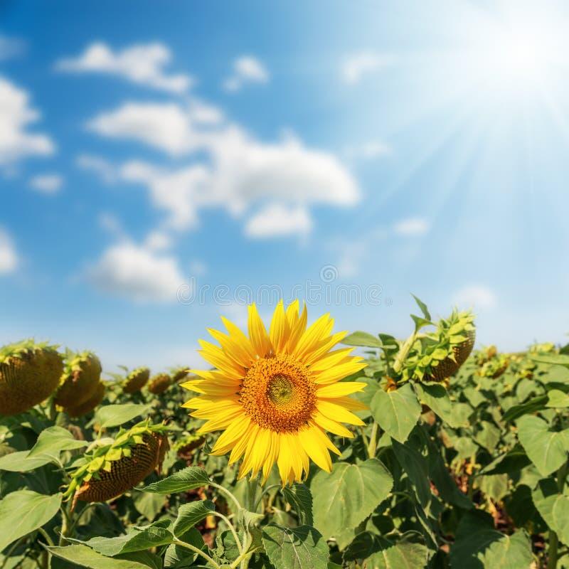 Één bloem van zonnebloem op gebied onder zon in wolken stock foto