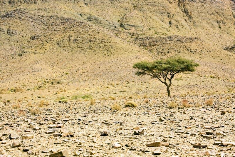 Één boom bij de woestijn stock foto's