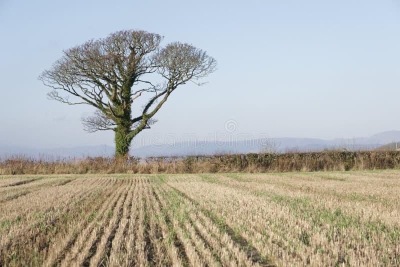 Één boom enig en alleen op horizon op de gewassen lege lege hemel van het landbouwbedrijfgebied stock foto's