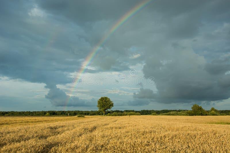 Één boom op het gebied en regenboog in een bewolkte hemel stock foto's