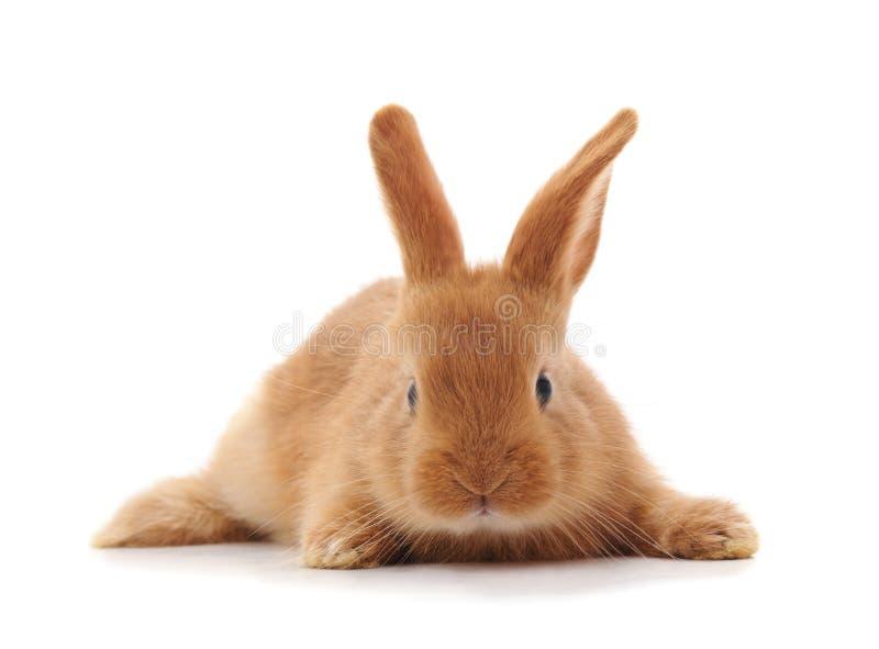 Één bruin konijn stock afbeeldingen