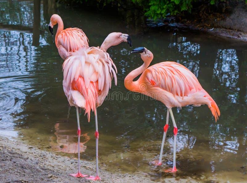 Één Chileense flamingo die dominant en agressief gedrag, de andere flamingo uitdrukken die doen schrikken en bang gemaakte, tropi stock afbeeldingen