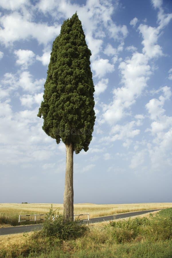 Één cipresboom op gebied. stock foto's
