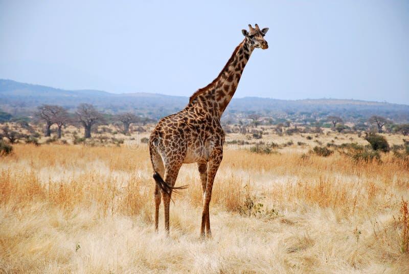 Één dag van safari in Tanzania - Afrika - Giraf stock foto's