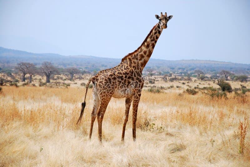 Één dag van safari in Tanzania - Afrika - Giraf royalty-vrije stock fotografie