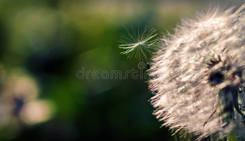 Één die paardebloemzaad door de heldere zon in de lucht dichtbij het hoofd van de bloem wordt aangestoken stock foto's