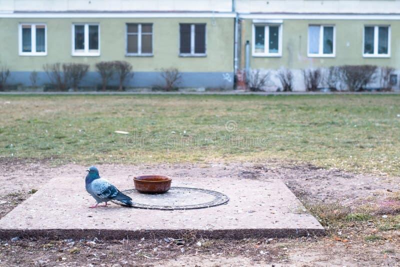 Één domestica van duifcolumba in de stad, vogel het dalen op stock fotografie