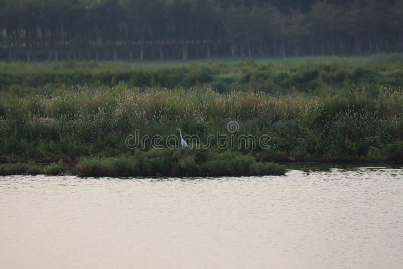 Één eenzame Aigrette in Bohai-nieuwe parl van het moerasland royalty-vrije stock afbeeldingen