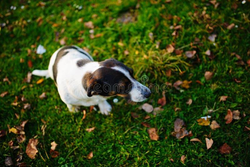 Één eenzame bastaarde bevlekte hond zit op het groene de herfstgras met oranje leafage op het royalty-vrije stock foto's