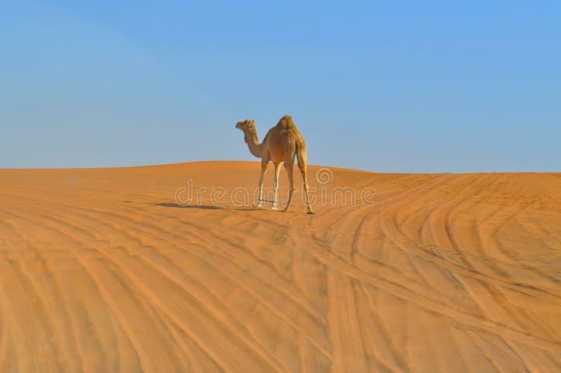Één enig-humped kameel in de grenzeloze woestijn stock foto