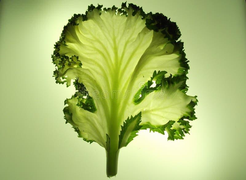 Één enkel blad van boerenkool of kropsla stock foto's