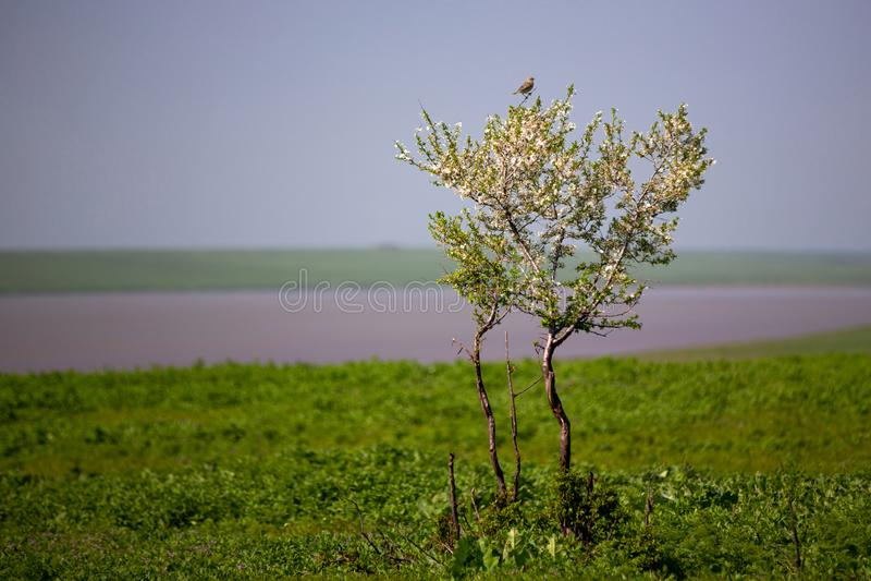 Één enkele bloeiende boom in de steppe Muszitting op kersenbloesems Blauwe heldere hemel de lente, zonnige dag royalty-vrije stock afbeeldingen
