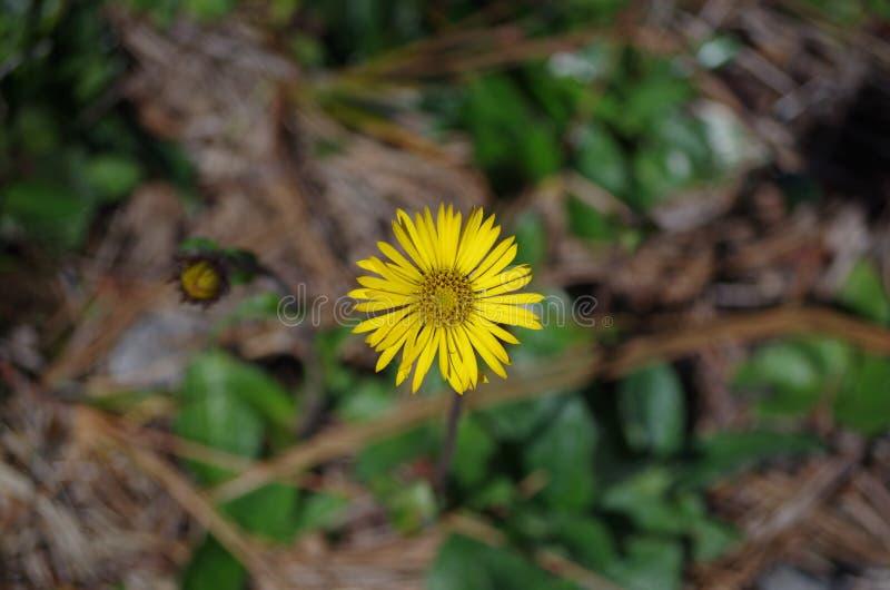 Één enkele bloem op de berg stock afbeelding