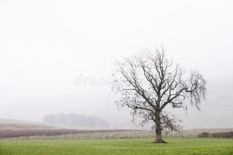 Één enkele eenzame boom alleen in het landbouwbedrijf van het mistlandschap stock afbeeldingen