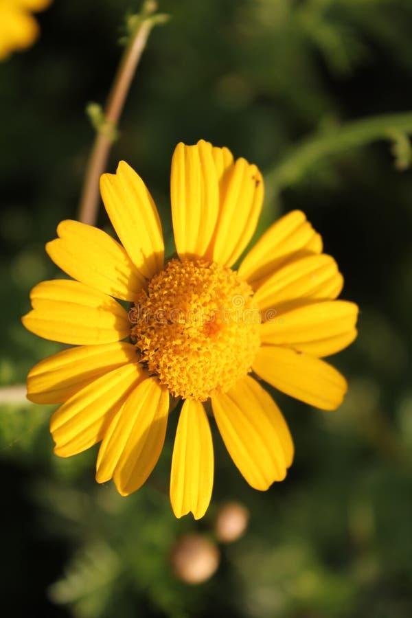 Één enkele gele chrysant in bloei stock fotografie