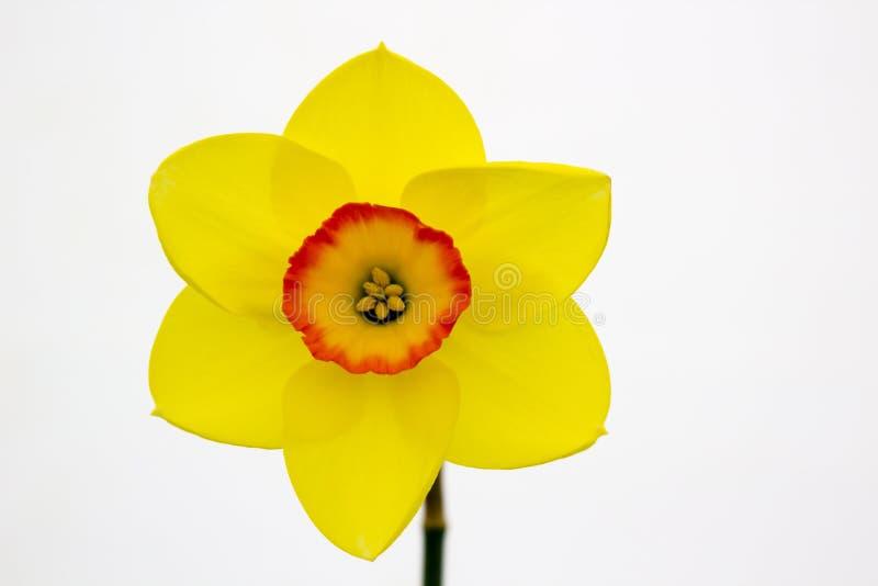 Één enkele gele narcisbloei op vertoning in de Junior School-sectie van het jaarlijkse die de Lentefestival in Demesne Belfast N  royalty-vrije stock afbeeldingen