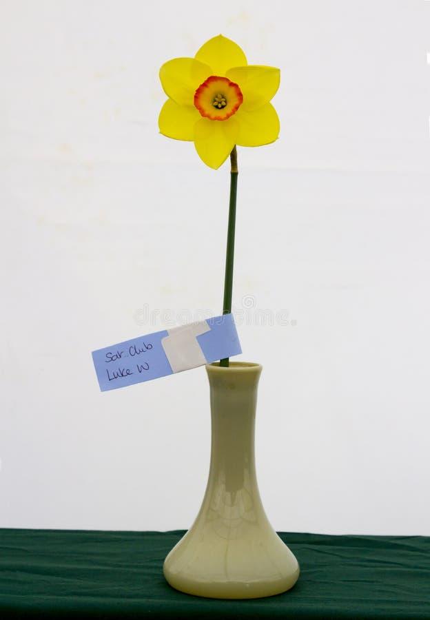 Één enkele gele narcisbloei op vertoning in de Junior School-sectie van het jaarlijkse die de Lentefestival in Demesne Belfast N  stock afbeelding