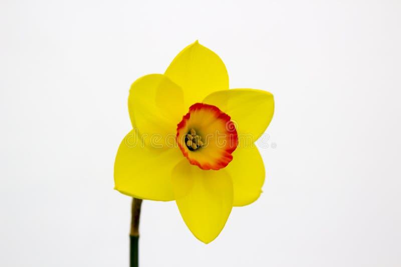 Één enkele gele narcisbloei op vertoning in de Junior School-sectie van het jaarlijkse die de Lentefestival in Demesne Belfast N  royalty-vrije stock afbeelding