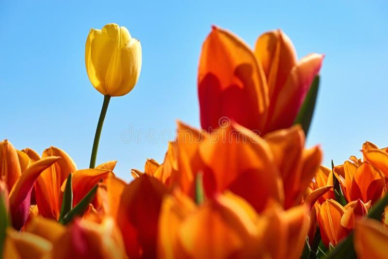 Één enkele gele tulp op een gebied met oranje tulpen royalty-vrije stock afbeelding