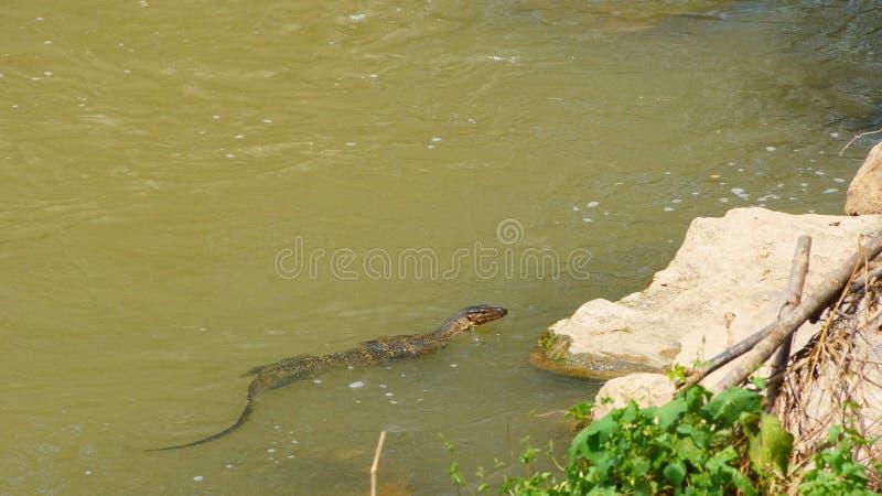 Één enkele monitorhagedis die over de rand van een rivier zwemmen stock foto
