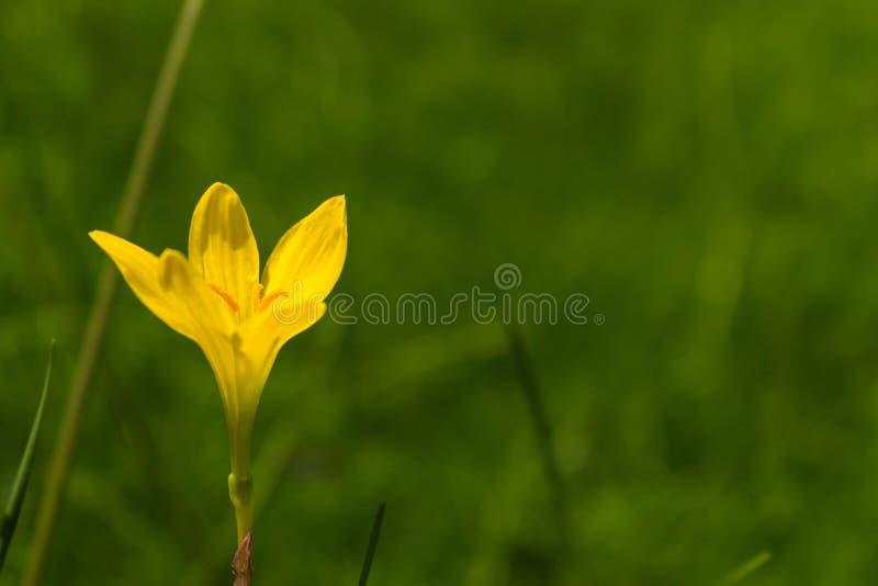 Één enkele mooie gele dag bloeit lilly royalty-vrije stock afbeelding