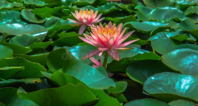 Één enkele roze die lotusbloembloem in een vijver door de groene bladeren wordt omringd royalty-vrije stock afbeeldingen