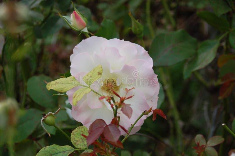 Één enkele witte bloem onder groene bladeren en wijnstokken royalty-vrije stock fotografie