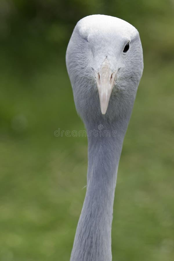Één eyed Blauwe Kraan stock foto's