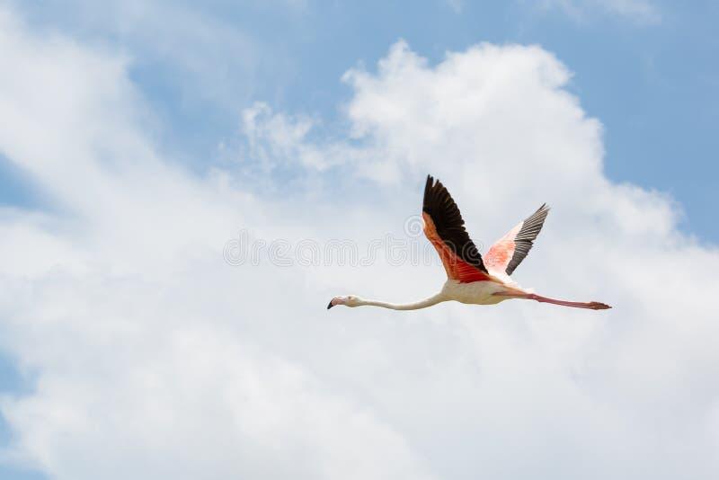 Één Flamingo met uitgespreide vleugels tijdens de vlucht stock foto
