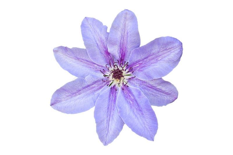 Één geïsoleerde bloem purpere Clematis royalty-vrije stock afbeelding