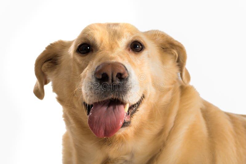 Één geel Labrador royalty-vrije stock foto