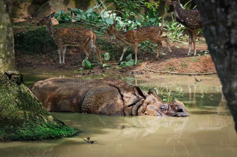 Één-gehoornde Rinoceros, Rinocerosunicornis stock afbeeldingen