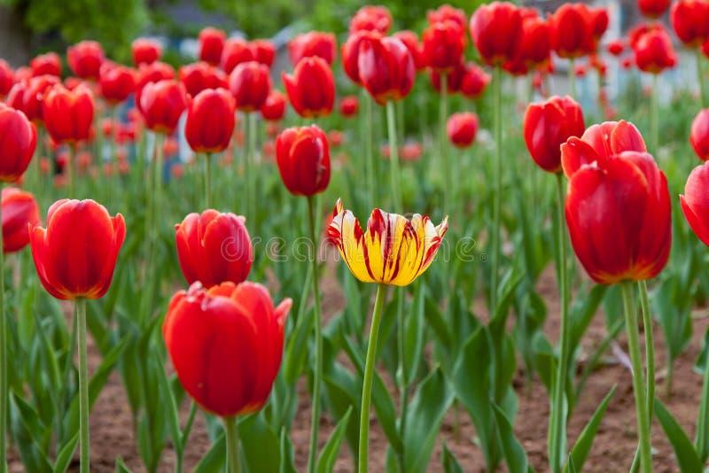 Één Gele Tulip Amongst Many Red Tulips royalty-vrije stock afbeeldingen
