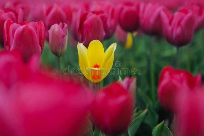 Één gele tulp onder rood gebied Bloeiende tulpengebieden in een Nederlands landschap Holland royalty-vrije stock foto