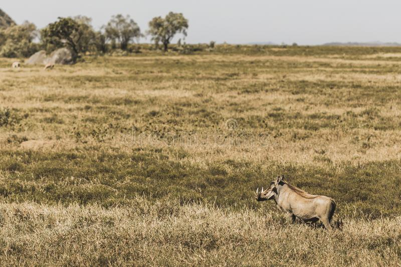 Één gemeenschappelijk wrattenzwijn in savanne op safari in Kenia royalty-vrije stock afbeeldingen