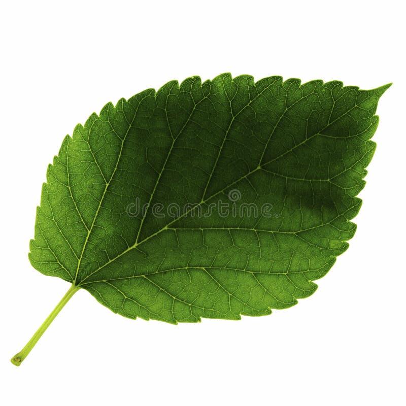Één groen blad van moerbeiboom die op witte achtergrond, hoogste kant wordt geïsoleerd van blad stock afbeeldingen