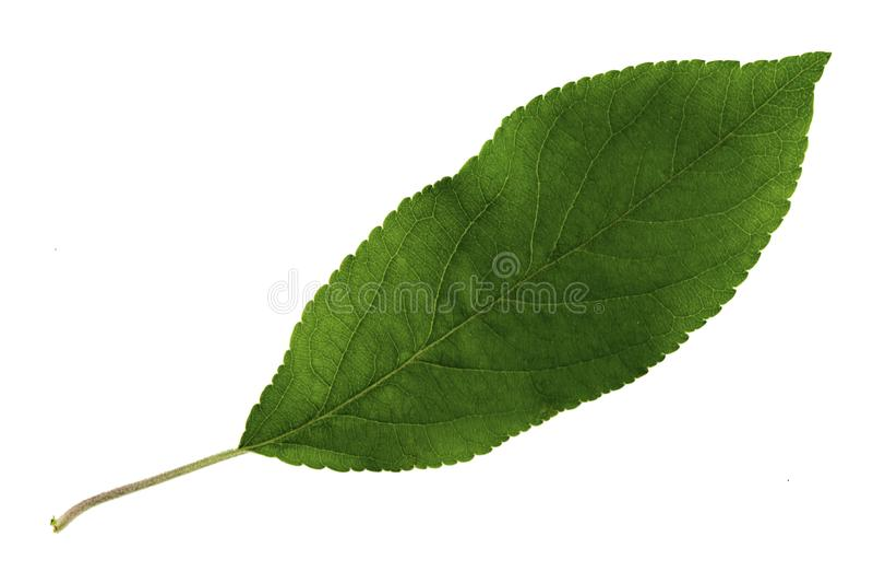 Één groen die blad van een appelboom op een witte achtergrond, de hoogste kant wordt geïsoleerd van het blad royalty-vrije stock foto's