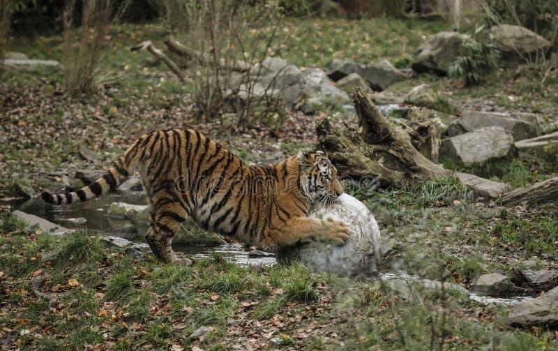 Één grote tijger speelt met een steenbal in het water in de stroom op de looppas in de zoölogische tuin stock fotografie