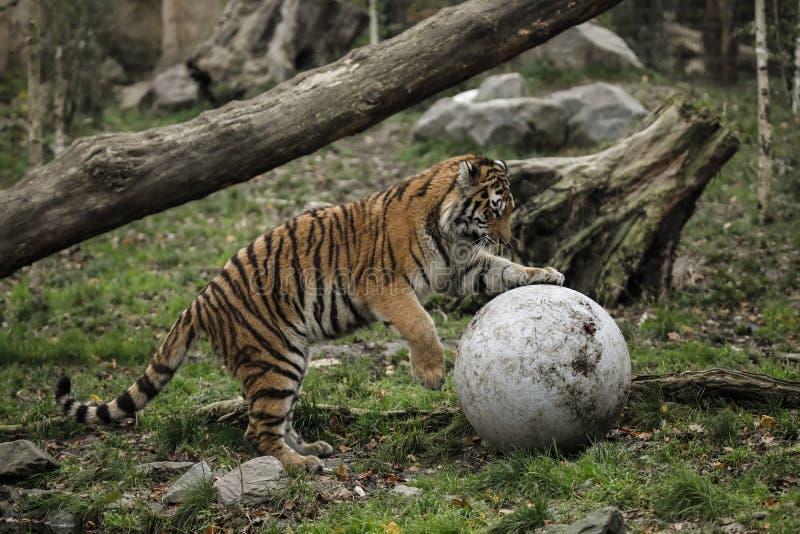 Één grote tijger speelt met een steenbal op de looppas in de zoölogische tuin royalty-vrije stock foto's