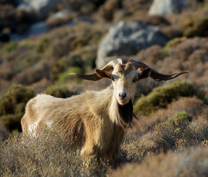 Één grote wilde geit in de bergen op vroege ochtendzonsopgang, populair dier in de eilanden van Griekenland, grote geit met reusa royalty-vrije stock fotografie