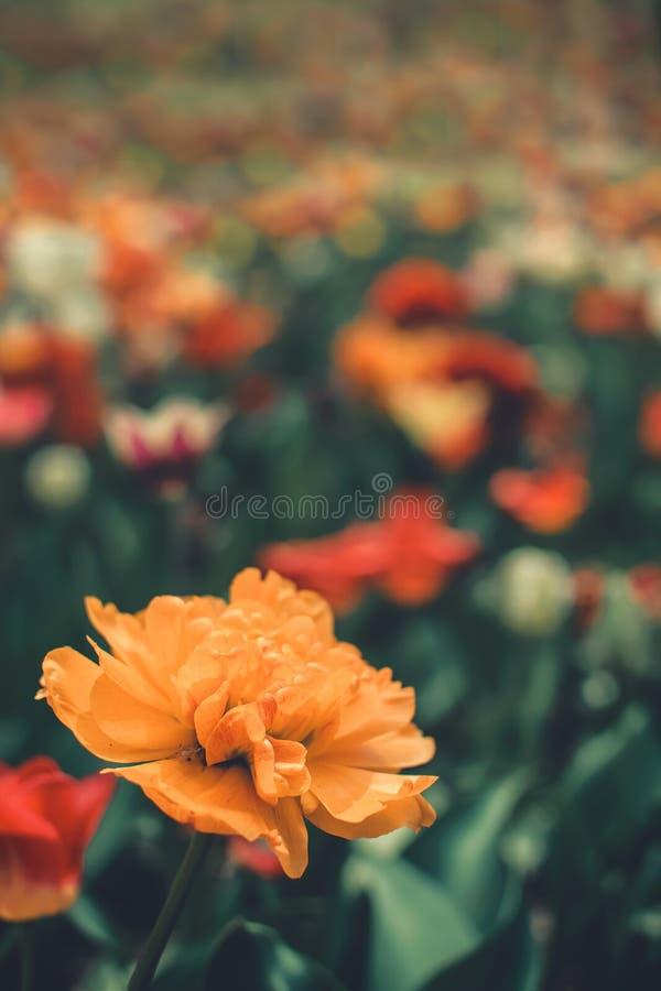 Één Grote, zonnige geeloranje tulp met veel bloemblaadjes met stroken onder kleurrijke tulpen in de bloemtuin, arboretum Bloem royalty-vrije stock afbeelding