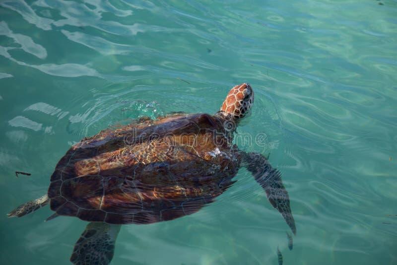 ??n hawksbillzeeschildpad die vanaf een schaduw van de heiligdomsomheining zwemmen stock afbeeldingen