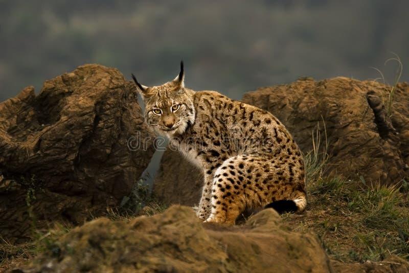 Één het Boreale kijken van de Lynx stock afbeelding