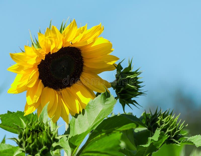 Één het grote gele zonnebloembloem groeien stock afbeeldingen