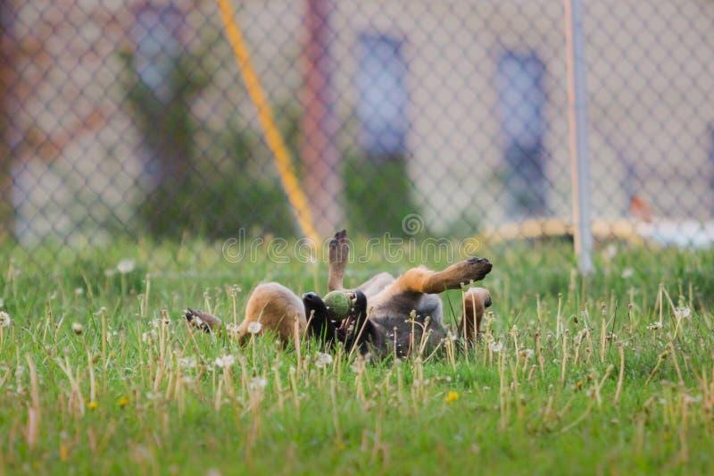 Één het Mannelijke Belgische Malinois-spelen in grasrijk park stock afbeeldingen