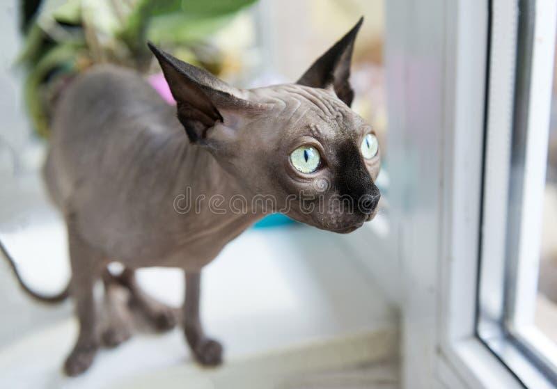 1 één kale kat, huisdier, Canadese Sphynx royalty-vrije stock foto's